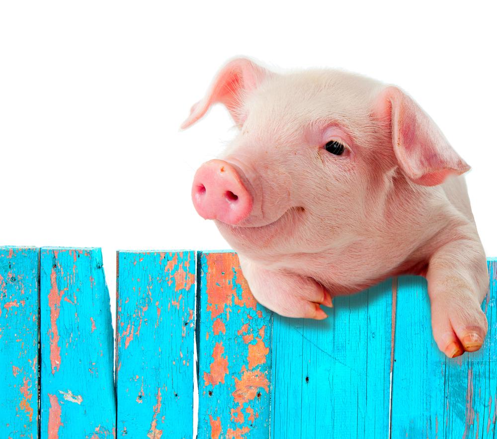 Crowdfunding En Hoe Je Vlees Verkoopt Voor Het Varken