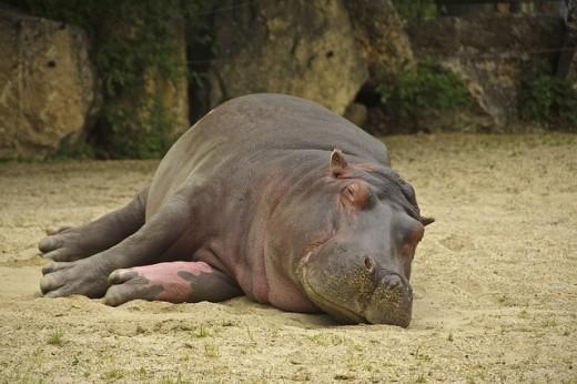 hippo-101477_640