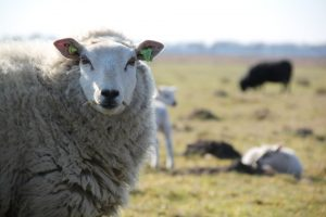 sheep-1237925_960_720