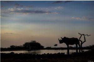 Neushoorn, Afrika
